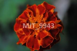 MJT_9943
